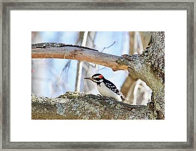 Framed Print featuring the photograph Male Downey Woodpecker 1112 by Michael Peychich