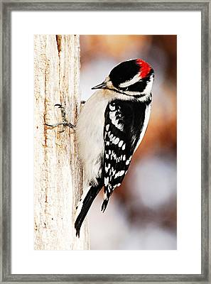 Male Downy Woodpecker 3 Framed Print by Larry Ricker