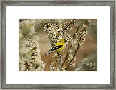 Male Finch In Blossoms Framed Print by Cathy  Beharriell