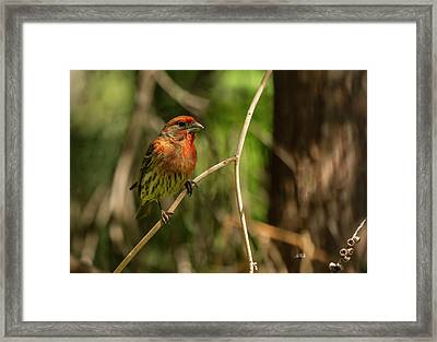 Male Finch In Red Plumage Framed Print