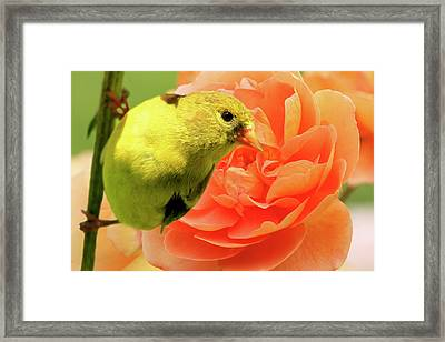 Male Goldfinch Framed Print