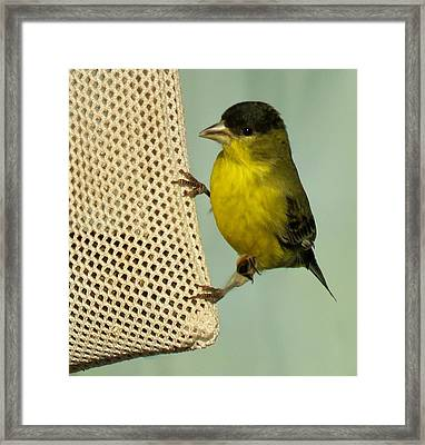 Male Goldfinch On Sock Feeder Framed Print