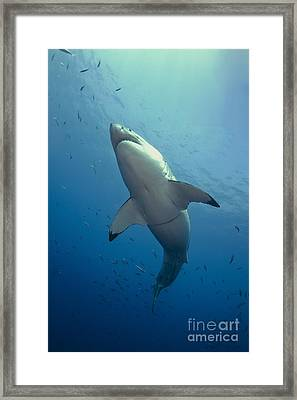 Male Great White Sharks Belly Framed Print by Todd Winner