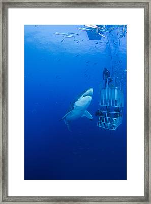 Male Great White With Cage, Guadalupe Framed Print by Todd Winner