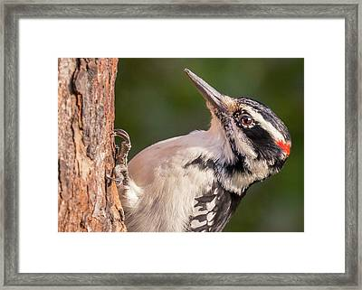 Male Hairy Woodpecker In Minnesota Framed Print by Jim Hughes