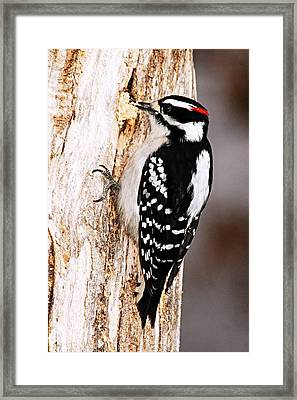 Male Hairy Woodpecker Framed Print by Larry Ricker