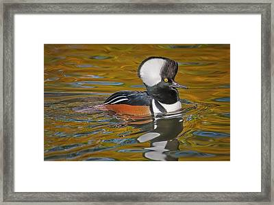 Framed Print featuring the photograph Male Hooded Merganser Duck by Susan Candelario