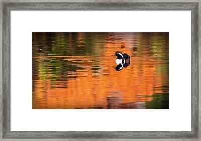 Male Hooded Merganser In Autumn Framed Print