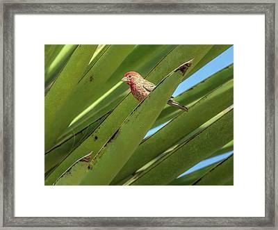 Male House Finch 7498 Framed Print by Tam Ryan