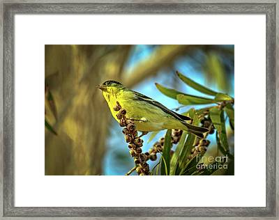 Male  Lesser Goldfinch Framed Print by Robert Bales