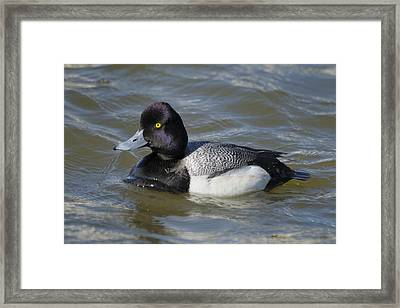 Framed Print featuring the photograph Male Lesser Scaup On The Water by Bradford Martin