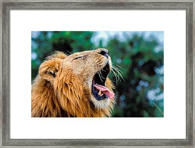 Male Lion, Panthera Leo Framed Print by Tina Manley