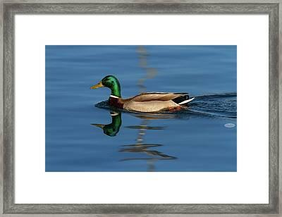 Male Mallard Or Wild Duck, Anas Platyrhynchos, Portrait Framed Print