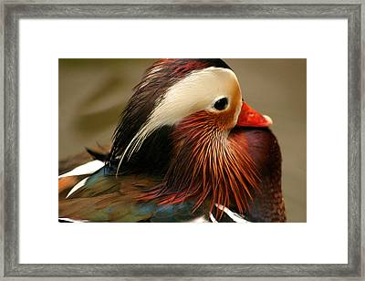 Male Mandarin Duck China Framed Print by PIXELS  XPOSED Ralph A Ledergerber Photography