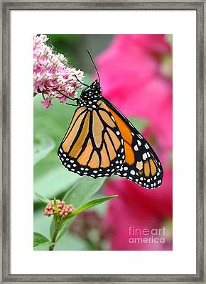 Male Monarch Framed Print