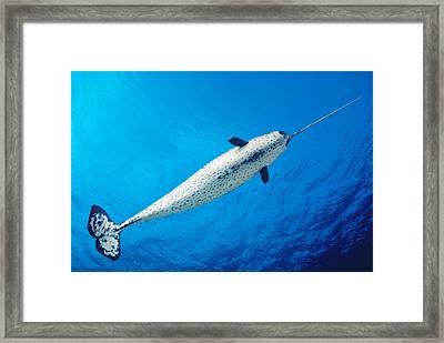 Male Narwhal Framed Print by Dave Fleetham - Printscapes