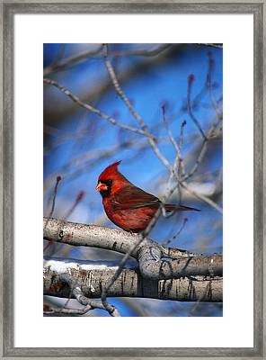 Male Northern Cardinal Bird Framed Print by Natural Selection David Spier