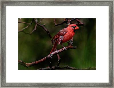 Male Northern Cardinal Framed Print
