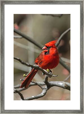 Male Northern Cardinal In Spring Framed Print