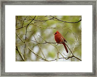 Male Northern Cardinal Framed Print by Michael Peychich