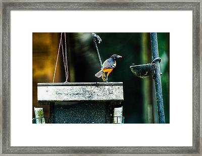 Male Oriole  Framed Print