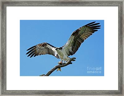 Male Osprey Framed Print by Larry Nieland