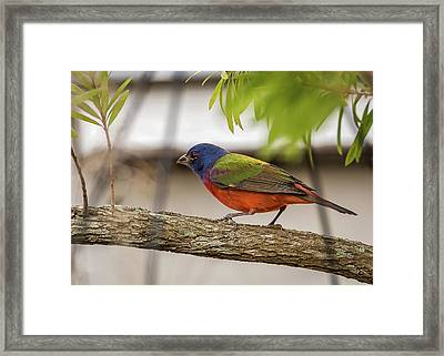 Male Painted Bunting Framed Print