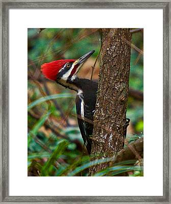 Male Pileated Woodpecker Framed Print by Robert L Jackson