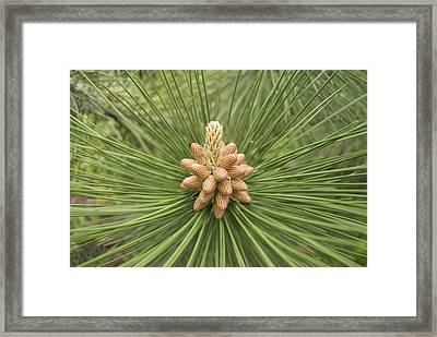 Male Pine Cones  Framed Print by Michael Peychich