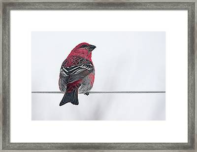 Male Pine Grosbeak Framed Print