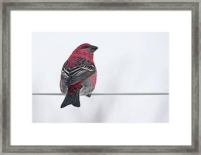 Male Pine Grosbeak Framed Print by Maggie Terlecki