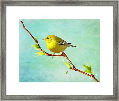 Male Pine Warbler On Forsythia Branch Framed Print