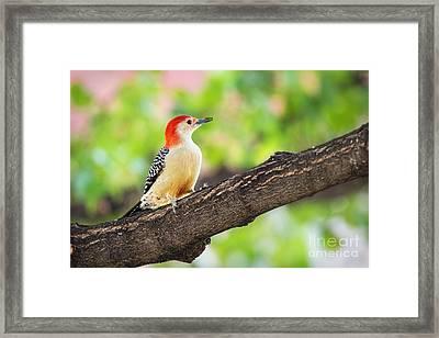 Male Red-bellied Woodpecker Framed Print