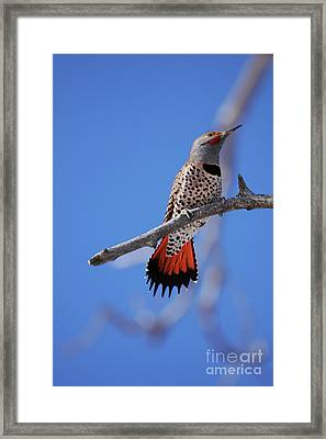 Male Red Shafted Northern Flicker Framed Print