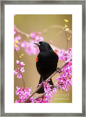Male Red Wing Black Bird Framed Print by Todd Bielby