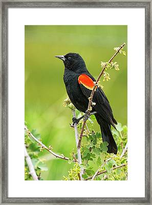 Male Red-winged Blackbird Framed Print