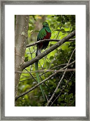 Male Resplendent Quetzal Framed Print by Roy Toft