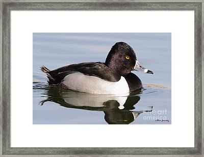 Male Ring Necked Duck Framed Print
