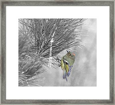 Male Ruby-crowned Kinglet Framed Print by Donna Kennedy