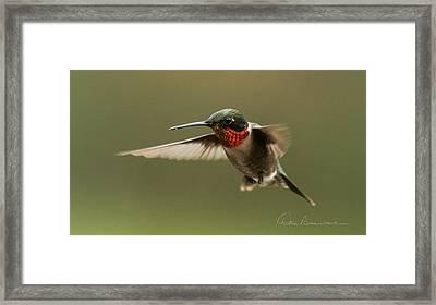 Male Ruby-throated Hummingbird 6794 Framed Print by Dan Beauvais