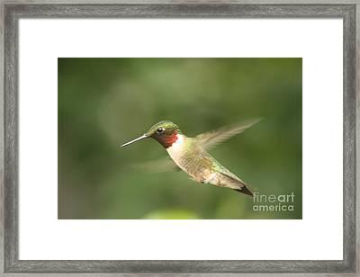 Male Ruby Throated Hummingbird Framed Print by Cathy  Beharriell
