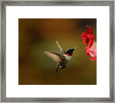 Male Ruby Throated Hummingbird Framed Print