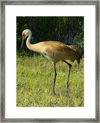 Framed Print featuring the photograph Male Sandhill Crane by Lynda Dawson-Youngclaus
