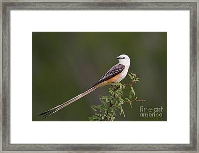 Male Scissor-tail Flycatcher Tyrannus Forficatus Wild Texas Framed Print by Dave Welling