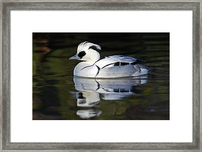 Male Smew Framed Print