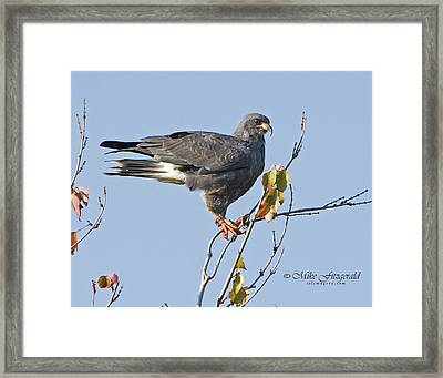 Male Snail Kite Poses Framed Print