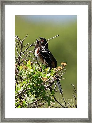 Male Spotted Towhee Framed Print