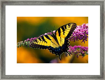 Male Tiger Swallowtail Butterfly On Framed Print by Panoramic Images