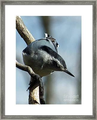 Male White-breasted Nuthatch Framed Print
