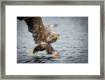 Male White-tailed Eagle Framed Print by Andy Astbury